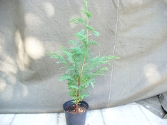 Лъжекипарис - Chamaecyparis lawsoniana